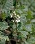 Rosaceae - Rubus ellipticus var. obcordatus