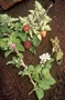 Rosaceae - Rubus hawaiensis