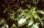 Rubiaceae - Bobea sandwicensis