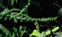 Rubiaceae - Coprosma elliptica