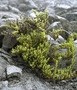 Rubiaceae - Coprosma ernodeoides
