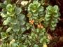 Rubiaceae - Coprosma ochracea