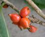 Rubiaceae - Coprosma pubens