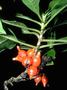 Rubiaceae - Coprosma rhynchocarpa