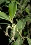 Rubiaceae - Coprosma waimeae