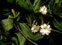 Rubiaceae - Gardenia mannii