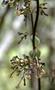 Rubiaceae - Kadua centranthoides