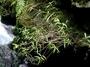 Rubiaceae - Kadua elatior