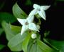 Rubiaceae - Kadua fluviatilis