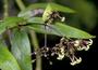 Rubiaceae - Kadua foggiana