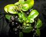 Rubiaceae - Kadua fosbergii