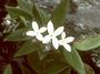 Rubiaceae - Kadua parvula