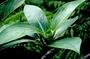 Rubiaceae - Kadua tryblium