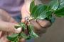Rubiaceae - Paederia foetida