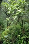 Rutaceae - Melicope clusiifolia