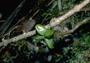 Rutaceae - Melicope pseudoanisata