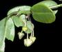 Rutaceae - Melicope sessilis