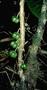 Rutaceae - Platydesma spathulata