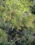Santalaceae - Exocarpos gaudichaudii