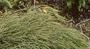 Santalaceae - Exocarpos luteolus
