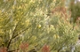 Santalaceae - Exocarpos menziesii