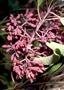 Santalaceae - Santalum freycinetianum