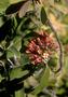 Santalaceae - Santalum haleakalae var. lanaiense