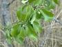Santalaceae - Santalum paniculatum var. paniculatum