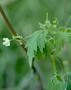 Sapindaceae - Cardiospermum halicacabum