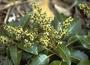 Sapindaceae - Sapindus oahuensis