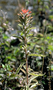 Orobanchaceae - Castilleja arvensis