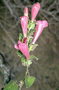 Plantaginaceae - Lophospermum erubescens