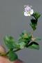 Plantaginaceae - Veronica serpyllifolia