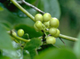 Smilacaceae - Smilax melastomifolia