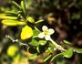Solanaceae - Lycium sandwicense