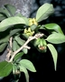 Solanaceae - Nothocestrum latifolium
