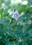 Solanaceae - Solanum linnaeanum