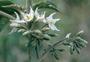 Solanaceae - Solanum torvum