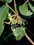 Thymelaeaceae - Wikstroemia furcata