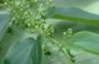 Cannabaceae - Trema orientalis