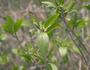 Violaceae - Isodendrion pyrifolium