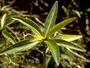 Violaceae - Viola lanaiensis