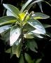 Violaceae - Viola wailenalenae