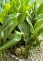 Zingiberaceae - Curcuma longa
