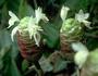 Zingiberaceae - Zingiber zerumbet