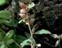 Amaranthaceae - Atriplex semibaccata