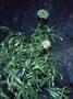 Caryophyllaceae - Schiedea globosa