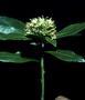 Goodeniaceae - Scaevola subcapitata