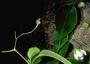 Loasaceae - Plakothira frutescens