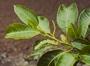 Moraceae - Streblus anthropophagorum